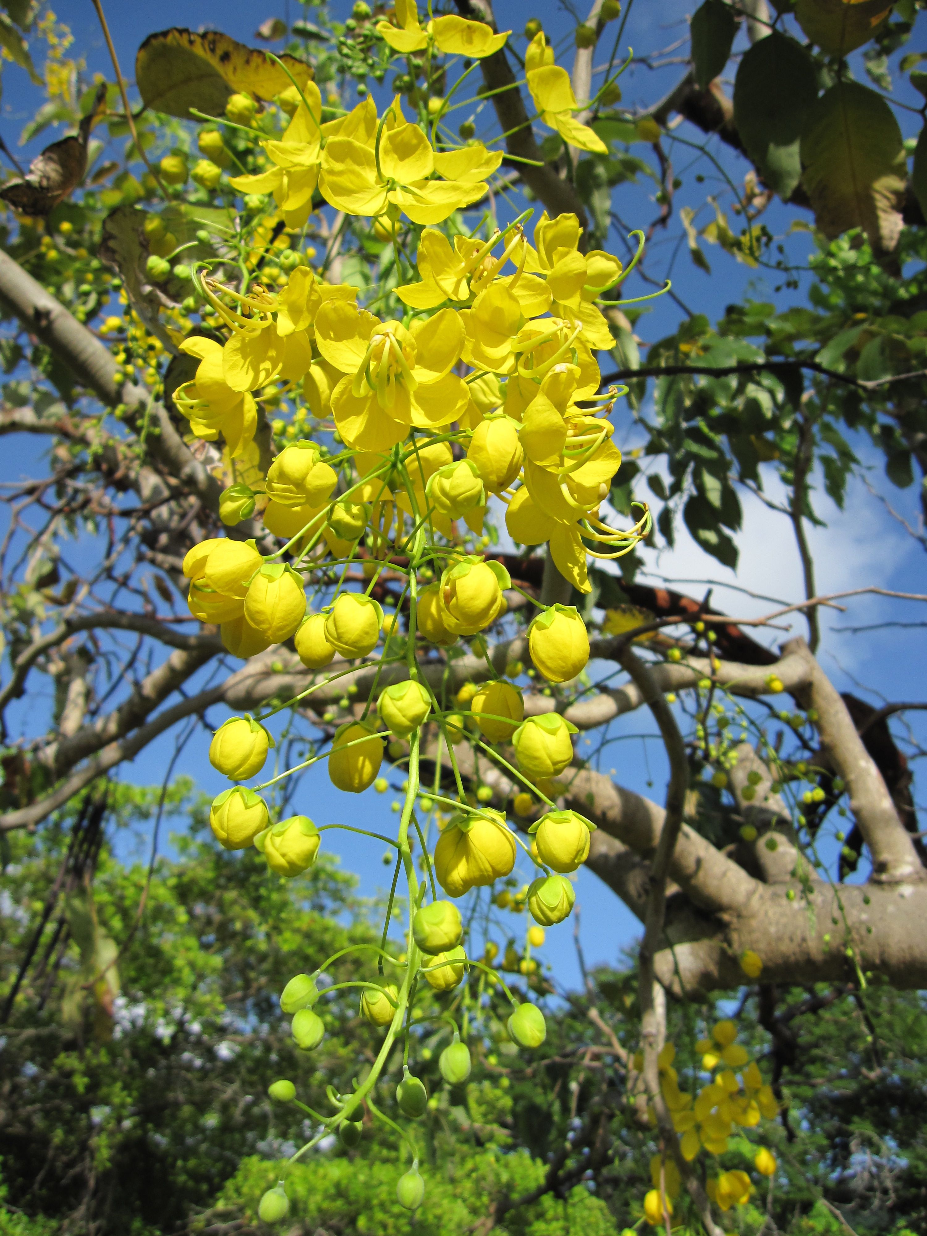 Golden Shower Seeds (Cassia Fistula) Bactyrilobium fistula